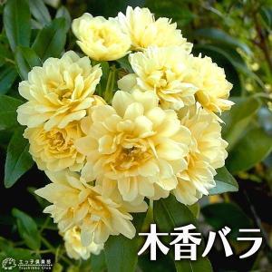 木香バラ ( 黄色八重咲 ) 9cmポット苗|produce87