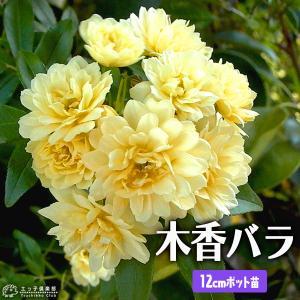 木香バラ ( 黄色八重咲 ) 12cmポット苗|produce87