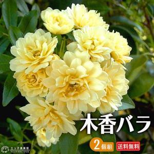 木香バラ ( 黄色八重咲 ) 2個セット 送料無料 9cmポット苗|produce87