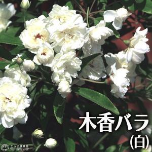 木香バラ ( 白八重 ) 9cmポット苗|produce87
