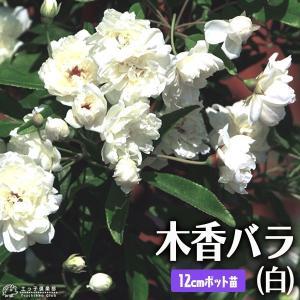 木香バラ ( 白八重 ) 12cmポット苗|produce87