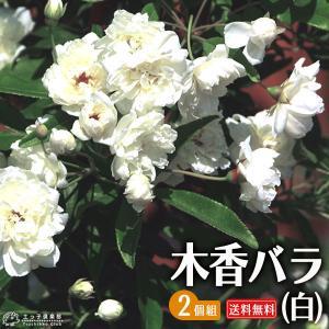 木香バラ ( 白八重 ) 2個セット 送料無料 9cmポット苗|produce87