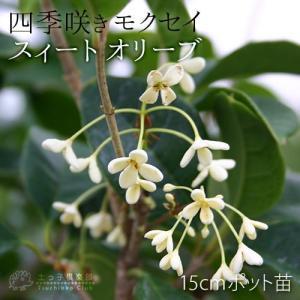 スィートオリーブ 『四季咲きモクセイ』 10....の詳細画像2