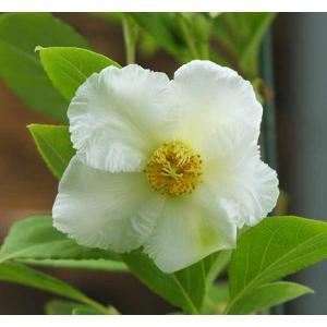 夏椿 『 ホワイトチルドレン 』 10.5cmポット|produce87