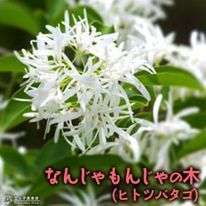 なんじゃもんじゃの木 ( ヒトツバタゴ ) 13.5cmポット苗|produce87