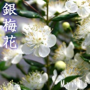 ハーブとして「マートル」の名前でもよく知られています。葉に香りがあることから「銀香梅(ぎんこうばい)...