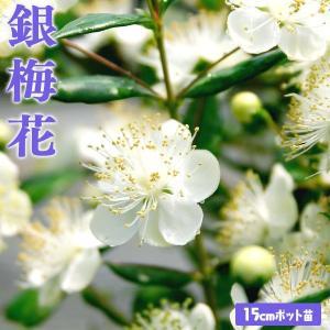 香る花木 『 銀梅花 ( ギンバイカ ) 』 マートル 15cmポット苗|produce87