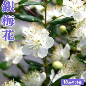 香る花木 『 銀梅花 ( ギンバイカ ) 』 18cmポット苗|produce87