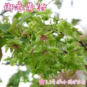 黄桜『 御衣黄( ギョイコウ )』 接ぎ木 10.5cmポット 苗木|produce87