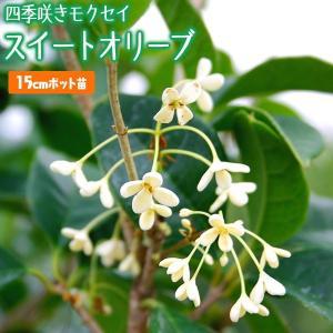 スイートオリーブ 『 四季咲きモクセイ 』 15cmポット苗木|produce87