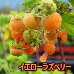イエローラズベリー 2個セット 9cmポット苗|produce87