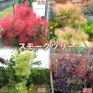 スモークツリーという名前は英名です。日本ではカスミノキ、ケムリノキ、ハグマノキと呼ばれています。  ...