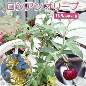 ロシアンオリーブ  13.5cmポット苗 ( 細葉グミ )|produce87