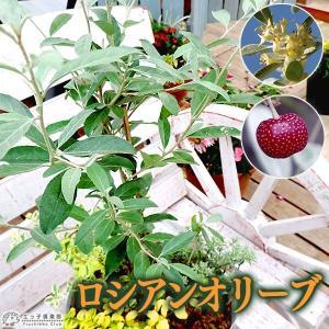 ロシアンオリーブ ( 細葉グミ ) 18cmポット苗木|produce87