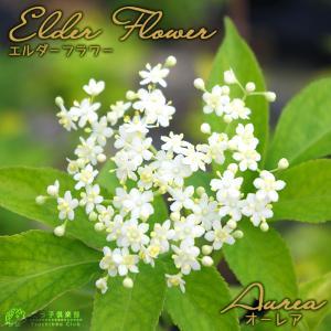 エルダーフラワー(西洋ニワトコ)『オーレア』 9cmポット苗|produce87