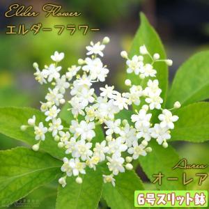 エルダーフラワー ( 西洋ニワトコ ) 『 オーレア 』 6号スリット鉢植え|produce87