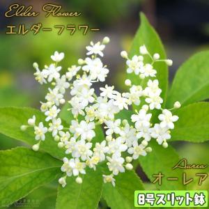 エルダーフラワー ( 西洋ニワトコ ) 『 オーレア 』 8号スリット鉢植え 大苗|produce87