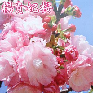 桜 『 楊貴妃( ヨウキヒ )』 接ぎ木 10.5cmポット 苗木|produce87