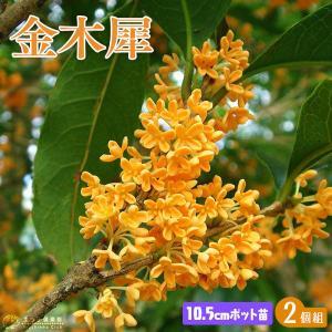 キンモクセイ (金木犀) 10.5cmポット苗 2個組|produce87