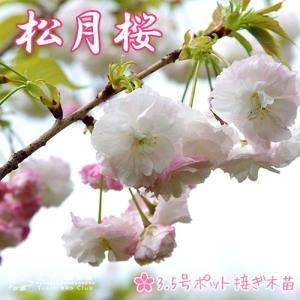 桜 『 松月 ( ショウゲツ )』 接ぎ木 10.5cmポット 苗木|produce87