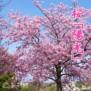 桜 『 陽光 』 接ぎ木 15cmポット 苗木|produce87