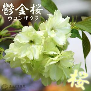 黄桜 『 鬱金桜 ( ウコンザクラ )』 接ぎ木 10.5cmポット 苗木|produce87