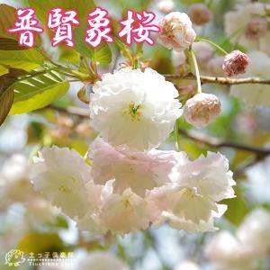 桜 『 普賢象 ( フゲンゾウ )』 接ぎ木 10.5cmポット 苗木|produce87