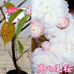 桜 『 虎の尾 ( トラノオ )』 接ぎ木 10.5cmポット 苗木|produce87
