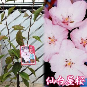 桜 『 仙台屋桜 ( センダイヤ )』 接ぎ木 10.5cmポット 苗木|produce87