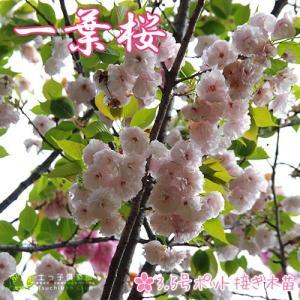 桜 『 一葉 ( イチヨウ )』 接ぎ木 10.5cmポット 苗木|produce87
