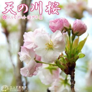 桜『天の川(あまのがわ)』 接ぎ木 10.5cmポット 苗木|produce87