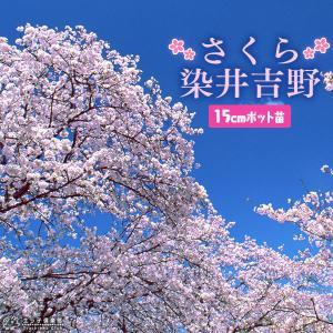 桜 『 染井吉野 ( そめいよしの ) 』 接ぎ木 15cmポット 苗木|produce87