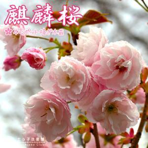 桜 『 麒麟 ( キリン )』 接ぎ木 10.5cmポット 苗木|produce87