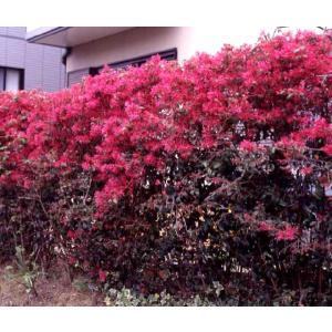 紅花トキワマンサク 15cmポット苗×5本組|produce87