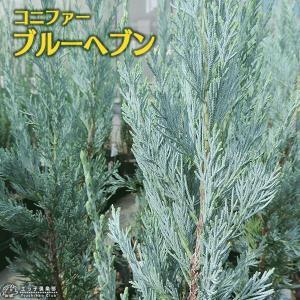 コニファー 『 ブルーヘブン 』 15cmポット苗|produce87