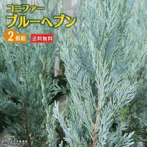 コニファー  『ブルーヘブン 』 2個セット ( 送料無料 ) 15cmポット苗 produce87