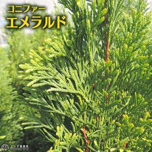 コニファー 『 エメラルド ( スマラグド ) 』 15cmポット苗|produce87