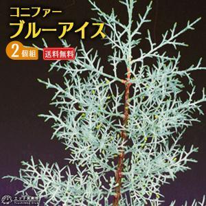 コニファー 『 ブルーアイス 』 2個セット 送料無料 15cmポット苗|produce87