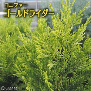 コニファー 『 ゴールドライダー 』 15cmポット苗|produce87