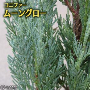 コニファー 『 ムーングロー 』 15cmポット苗|produce87