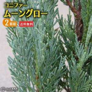 コニファー 『 ムーングロー 』 2個セット 送料無料 15cmポット苗 produce87