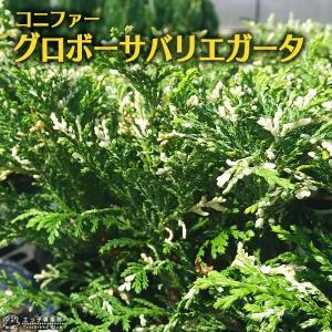 コニファー 『 グロボーサバリエガータ 』 15cmポット苗|produce87