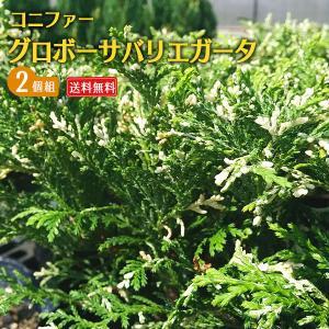 コニファー 『 グロボーサバリエガータ 』 2個セット 送料無料 15cmポット苗|produce87