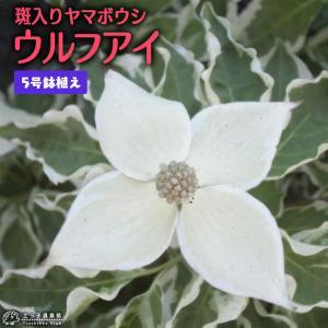 斑入り ヤマボウシ 『 ウルフアイ 』 5号鉢植え|produce87