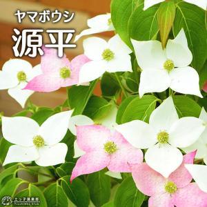 やまぼうし 『 源平ヤマボウシ 』 13.5cmポット苗|produce87