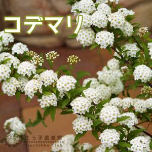 小手毬 ( コデマリ ) 6号鉢植え|produce87