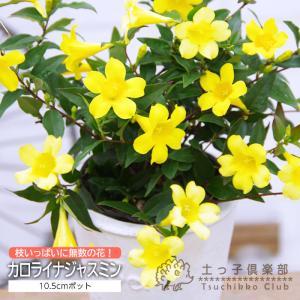 暑さ寒さに強く、育てやすいツル性花木です。満開になると、枝いっぱいに咲いて壮観です。  北アメリカ原...
