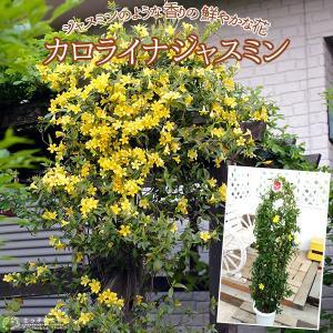 カロライナジャスミン 6号鉢植え produce87
