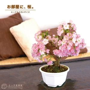 桜盆栽 『 一才桜 旭山(あさひやま) 』 (花芽付き)|produce87