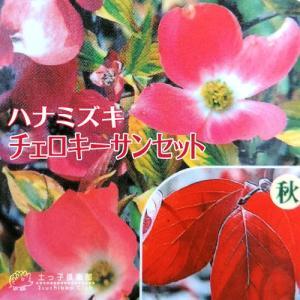 ハナミズキ 『 チェロキーサンセット 』 斑入り葉 18cmポット苗|produce87
